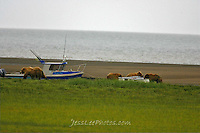 Alaska Brown Bear, Coastal Grizzly and cubs with boat. Grizzly Bear or brown bear alaska Alaska Brown bears also known as Costal Grizzlies or grizzly bears