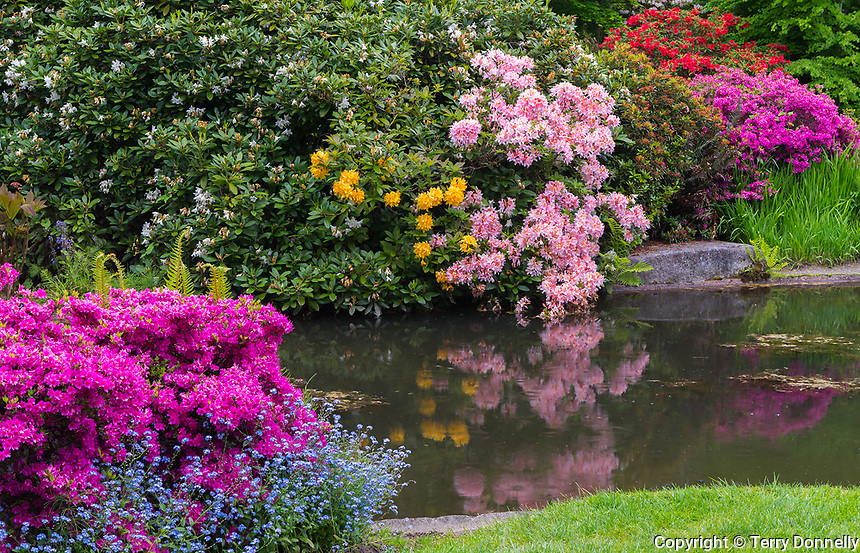 Seattle, WA<br /> Kubota Garden city park, pond in the Tom Kubota Stroll Garden with flowering rhododendrons