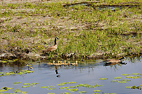 Canadian Goose family, Klamath National Wildlife Refuge, Oregon.  May.