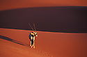 Oryx-Antelope crossing red sand dune at Sossusvlei, Namib-Naukluft National Park, Namib Desert, Namibia
