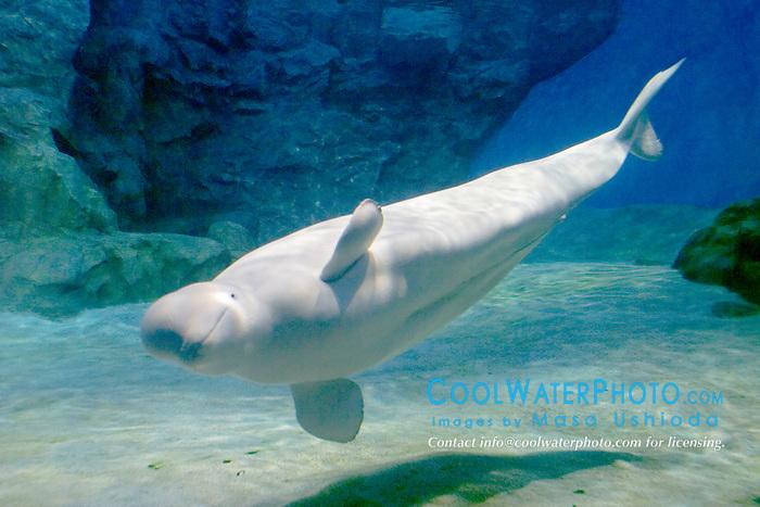 beluga or white whale, Delphinapterus leucas, Arctic and Subarctic Ocean (c)