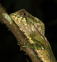 What I believe is a helmeted iguana found during a night walk. If anyone has the correct ID, I'd welcome it.