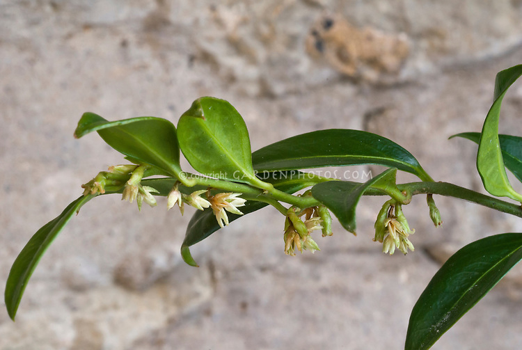 Sarcococca confusa in spring bloom, white flowers, single branch against neutral background