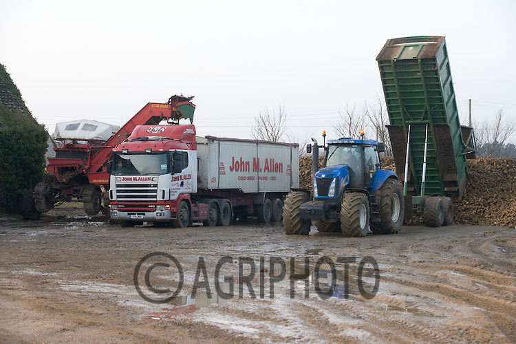 Tractor and trailer tipping sugar beet into a heap in a farmyard while a transport company loads beet to take to the factory.