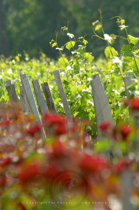 Roses rose bushes planted at the end of each row of vines, traditionally to serve as an early warning for diseases Chateau Paloumey Haut-Medoc Ludon Medoc Bordeaux Gironde Aquitaine France