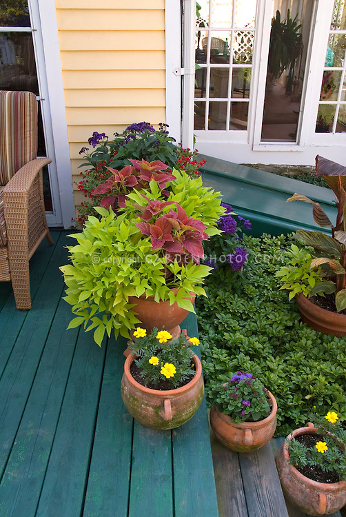 Ipomoea (green) with red Coleus in pots on deck, with marigolds, heliotrope, ageratum, Canna, with house and wicker chair visible
