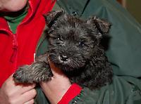 Schnauzer puppy close-up, Perth, Perthshire, Scotland.