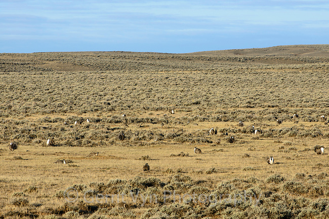 A large lek of Greater Sage-Grouse (Centrocercus urophasianus). Sublette County, Wyoming. March.