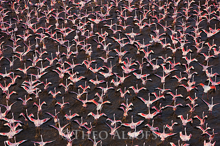 Kenya, Rift Valley, lesser flamingos taking off at Lake Bogoria