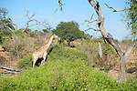 Giraffe Finding Foliage to Nibble on in Chobe National Park in Botswana in Africa