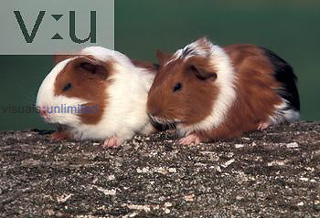 Smooth-Haired Guinea Pigs sitting on a log.