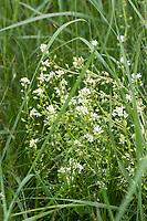 Echtes Löffelkraut, Gewöhnliches Löffelkraut, Löffelkraut, Cochlearia officinalis, Common Scurvy Grass, Common Scurvygrass, Scurvygrass, Scurvy Grass, Spoonwort, La cochléaire officinale