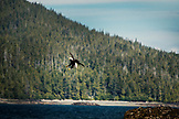 ALASKA, Ketchikan, a bald eagle soars above the Behm Canal near Clarence Straight, Knudsen Cove along the Tongass Narrows