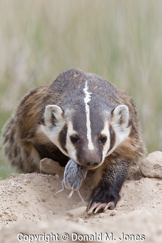 Badger (Taxidea taxus)