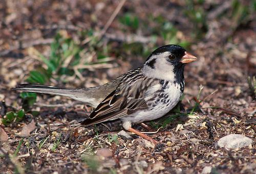 Harris's Sparrow - Zonotrichia querula -breeding adult