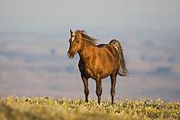 Mustang Horse (Equus caballus), adult, Pryor Mountain Wild Horse Range, Montana, USA