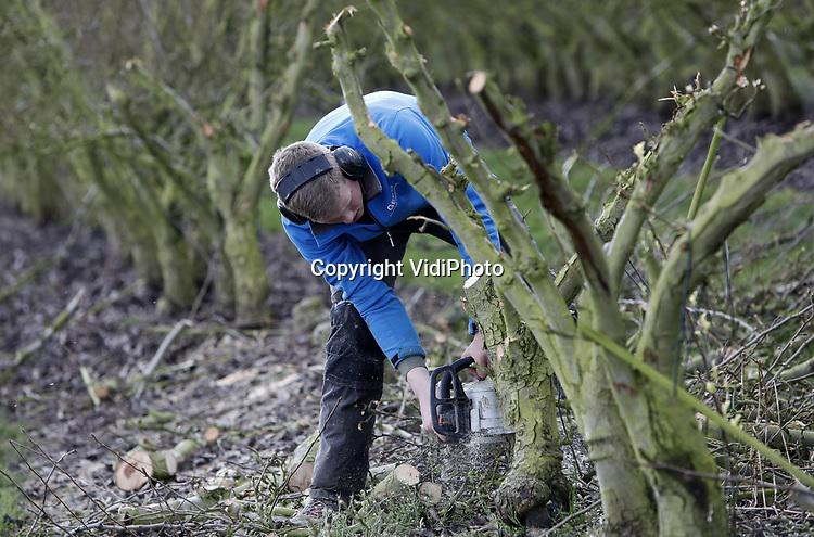 Foto: VidiPhoto<br /> <br /> DODEWAARD – Nieuw voor oud. De bijna 30 jaar oude perenbomen van fruitteeltbedrijf VreeFruit in Dodewaard gaan woensdag tegen de vlakte en veranderen in haardhout. Het zijn de 2000 oudste bomen van het bedrijf die weg worden gezaagd door 'liefhebbers', want het hout is gratis en fruitbomenhout is populair bij mensen met een houtkachel. Ze moeten het wel zelf zagen en meenemen. Voordeel voor de teler is dat de loonwerker straks minder hout hoeft te versnipperen en dat bespaart hem geld. Op de plek van de oude perenbomen komen in mei 3000 appelbomen van het licentieras Wellant, een populaire en dure appel.