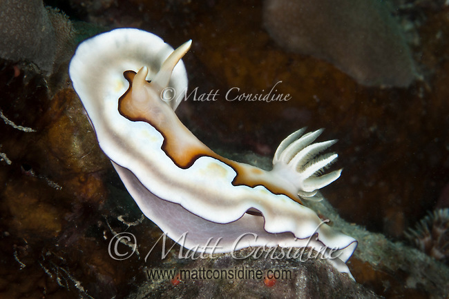 Nudibranch moving slowly along the reef, Yap Micronesia (Photo by Matt Considine - Images of Asia Collection)