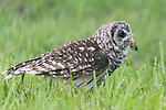Brazoria County, Damon, Texas; a Barred Owl owlet with a cicada in its beak, which it captured in the grass