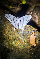 Moths in the Choco Rainforest at night, Ecuador. This area of jungle is the Mashpi Cloud Forest in the Pichincha Province of Ecuador, South America
