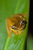 Dendropsophus microcephala
