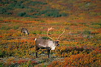 Barren Ground Caribou bull (Rangifer tarandus).  Tundra.  Alaska.  Fall.