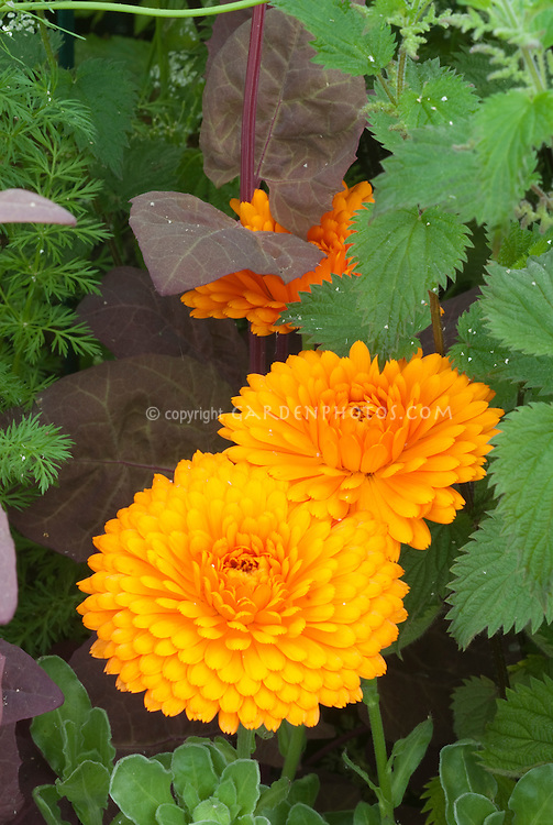 Calendula officinalis in orange flower in garden edible herb