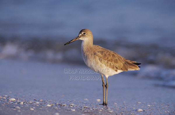 Willet, Catoptrophorus semipalmatus, adult winter plumage, Sanibel Island, Florida, USA, Dezember 1998