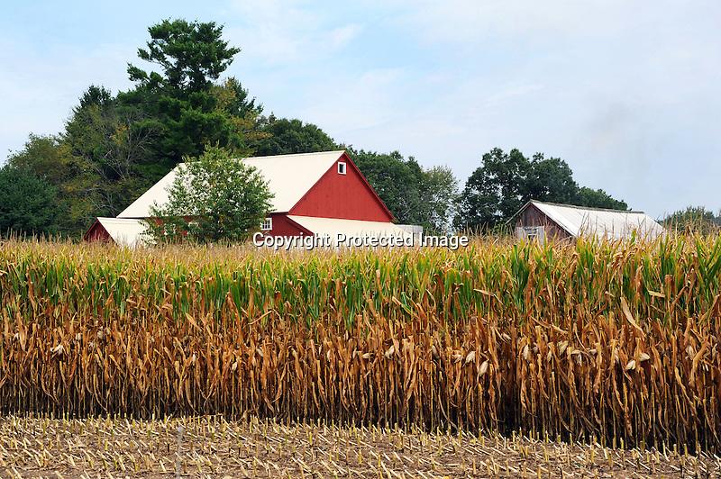 Cornfield and Barn in Massachusetts USA
