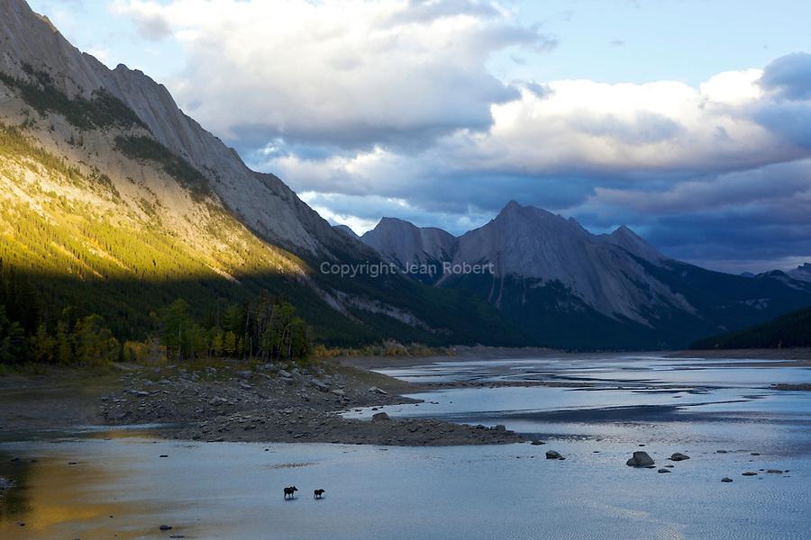 Elan femelle et son petit dans les eaux de Medicine Lake sur la route de Maligne lake au dessus de Jasper.