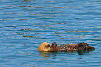 Young Alaskan or Northern Sea Otter (Enhydra lutris) pup floating on its back while it waits for mom.  Mom is diving for food.  At this age the pup does not yet have the strength or coordination to swim very far.  Alaska.