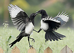 Pictured: A pair of magpies fighting<br /> <br /> Birds repeatedly battle in the air, screeching and clawing at each other as they fight over food.  The air above a small bird feeder in a British garden is almost a constant scene of war as jackdaws, magpies, rooks, and starlings conduct a series of aerial duels.<br /> <br /> The battling birds were pictured over the back garden of computer programmer Alex Appleby's home in Hatfield Peverel, Essex.   SEE OUR COPY FOR DETAILS.<br /> <br /> Please byline: Alex Appleby/Solent News<br /> <br /> © Alex Appleby/Solent News & Photo Agency<br /> UK +44 (0) 2380 458800