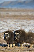 Musk Ox calves on Alaska's snowy Arctic Coastal Plain