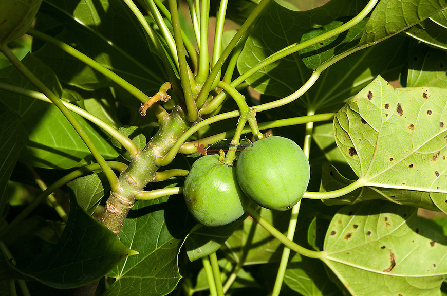 Close up of Jatropha fruit