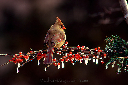 Female cardinal, Cardinal cardinalis, on branch in winter with holly berries and icicles from behind showing lovely subtle feathers