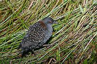 Black Rail - Laterallus jamaicensis - male