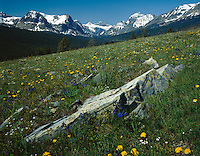 Wildflowers blanket Cutbank Valley with snow capped peaks in distance, GLACIER NATIONAL PARK, Montana