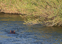 Hippos are found in many of Kruger National Park's rivers.