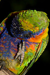 An Australian Rainbow Lorikeet shows its zygodactyl toes, two pointing forward, two pointing back while scratching its head.  //  Rainbow Lorikeet - (Psittacidae: Trichoglossus haematodus) Length to 35cm; wingspan to 46cm; weight to 130g. The green areas of its plumage turn brown when saturated with water, and return to green when dry, indicating that green is a structural colour caused by interference with the wavelength of light, rather than a pigment embedded in the feather. Zygodactyl toes are found in all parrots.  Found in coastal regions in northern and eastern Australia from the Kimberley Region in northern Western Australia (Red-collared Lorikeet) to eastern South Australia. Occurs in forests, woodlands and rural and urban areas. Feeds mainly on nectar and pollen which it gathers with its brush-tipped tongue. Aviary-escapees are established in many towns and cities. Now occurs in south-west Western Australia, New Zealand, Hong Kong.  Widespread with many subspecies - often with a different name - from eastern Indonesia (Maluku = Molucca Islands) through New Guinea east to Vanuatu and New Caledonia, north through Manus and the Admiralty Islands the Philippine Islands (taxonomy of the group is not yet finalised and this may be a different species). Common. IUCN Status: Least Concern.  //Eric Lindgren//