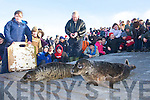 Seals being released at Banna Beach on Wednesday.   Copyright Kerry's Eye 2008