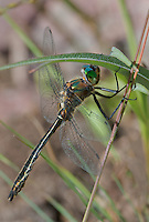 340600003 a wild male american emerald cordulia shurtleffii perches on a plant stem by a pond near cave creek campground in modoc county california
