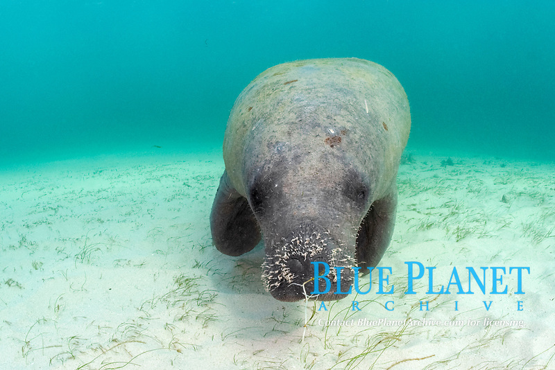 West Indian manatee or Antillean manatee, Trichechus manatus manatus feeding on seagrasses, manatee grass, Syringodium filiforme, and shoal grass, Halodule beaudettei, in pass on Belize Barrier Reef, Belize, Central America (Caribbean Sea) (do)