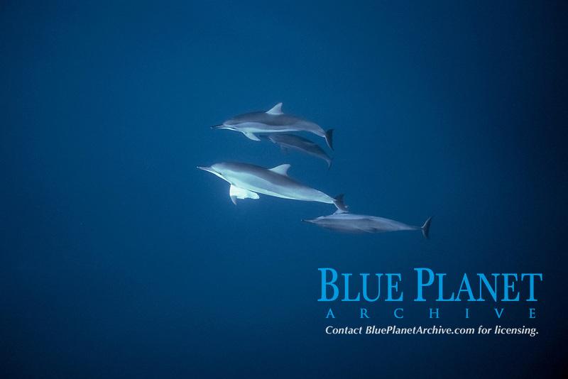 Hawaiian spinner dolphins, Stenella longirostris, plays with plastic bag, Kona Coast, Big Island, Hawaii, USA, Pacific Ocean Ocean