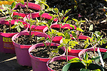 Transplanted tomatoe plants in pink containers.