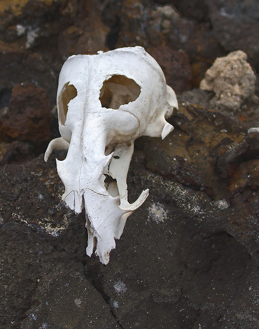 An O'Keefe-like three-quarter profile of a white, partial skull backed by black and brown volcanic rocks of Bartolome Island, Galapagos. It is expected that the skull is of one of the feral animals that inhabited the island and have since been erradicated. Precise idenfication of skull would be appreciated.