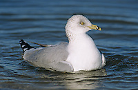 Ring-billed Gull, Larus delawarensis,adult bathing, Rockport, Texas, USA