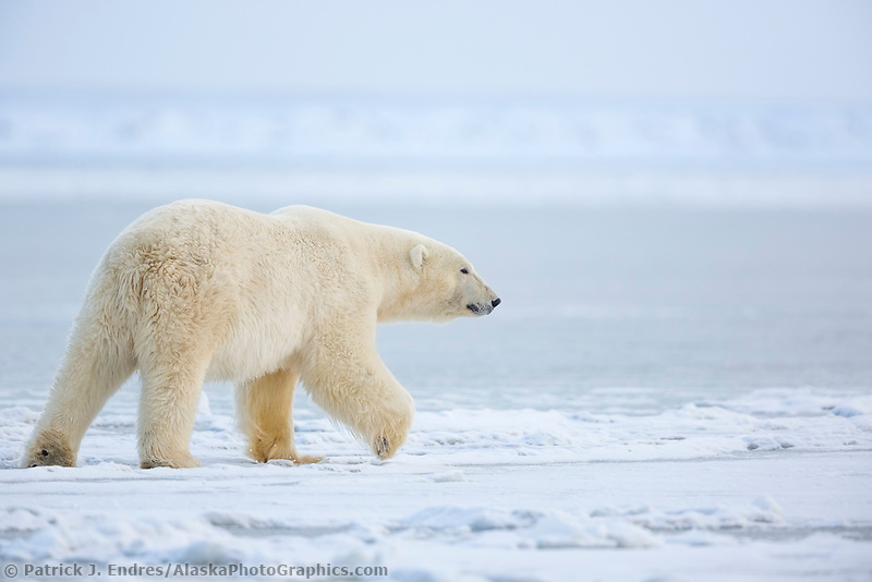 Polar bear on the Beaufort Sea ice, Arctic, Alaska.