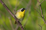 Male common yellowthroat in northern Wisconsin.