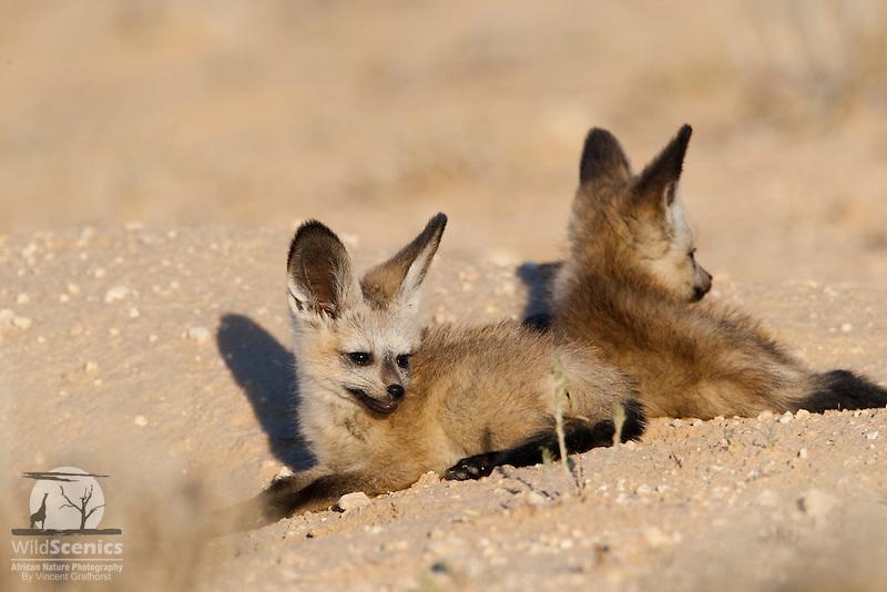 Two Bat-eared fox pups lying at burrow entrance