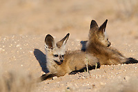 Two Bat-eared fox pups lying at burrow entrance